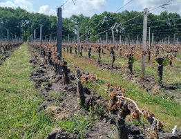 impact gel sur la vigne Fruition sciences
